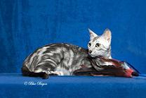 Bengal Black Silver Marbled Tabby, Male, 1.2 years old DOB: 2005-04-09 Owner: Nancy R Sweat Show: Fort Worth Feline Fanciers