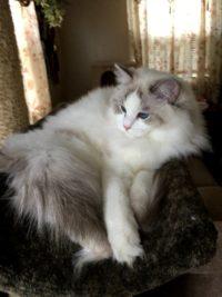 Kitten 18 Shadow